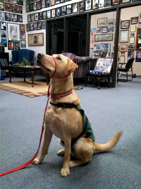 Yellow labrador sits at attention, wearing green vest and red leash